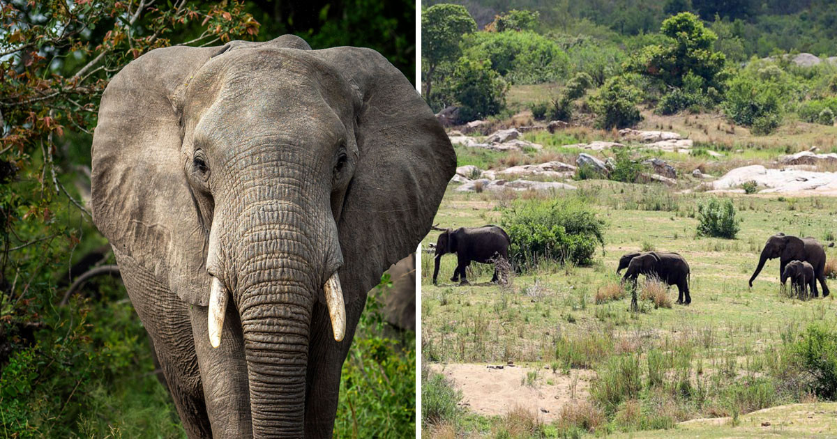 Kruger National Park: 'Poacher' trampled to death by elephants while fleeing rangers