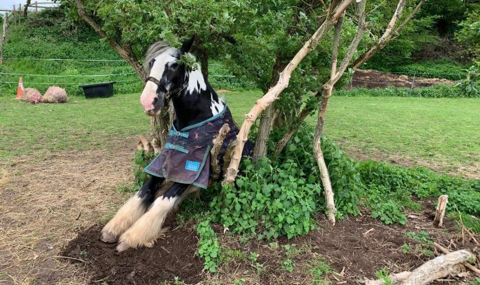 Horse with a very long face gets stuck between trees