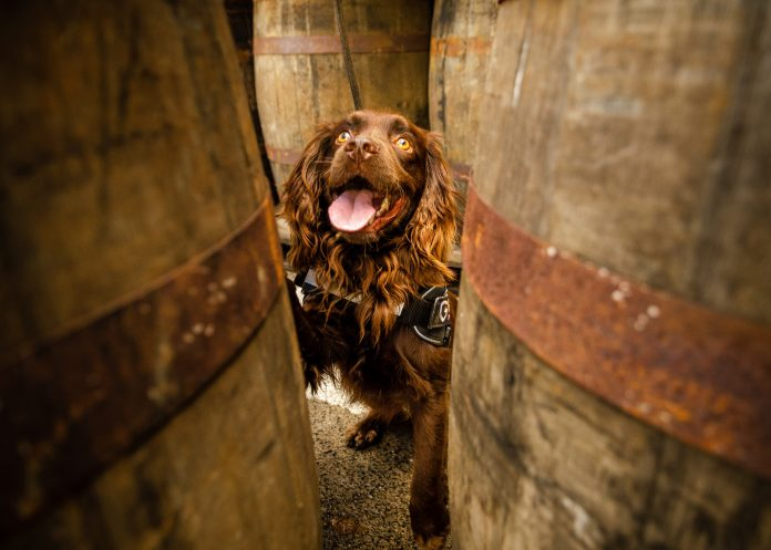 Meet Rocco, the cocker spaniel who works at a whisky distillery